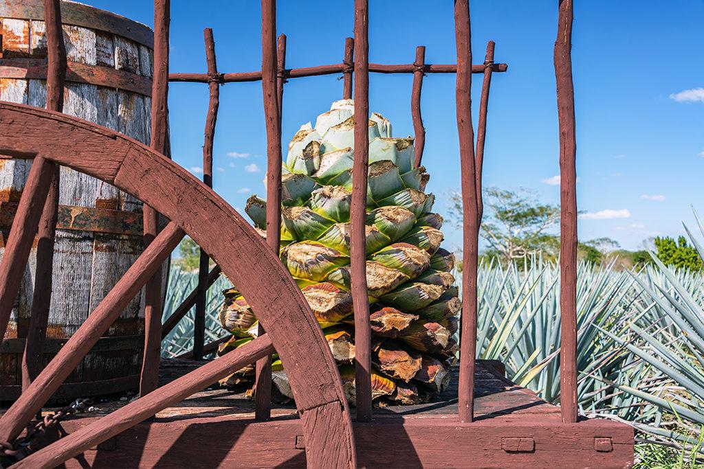 """Eine """"Piña"""" - also das Herz einer Agavenpflanze. Diese scheint allerdings schon etwas länger in der Sonne zu stehen und dient wohl nur noch als Deko-Objekt ;-)"""