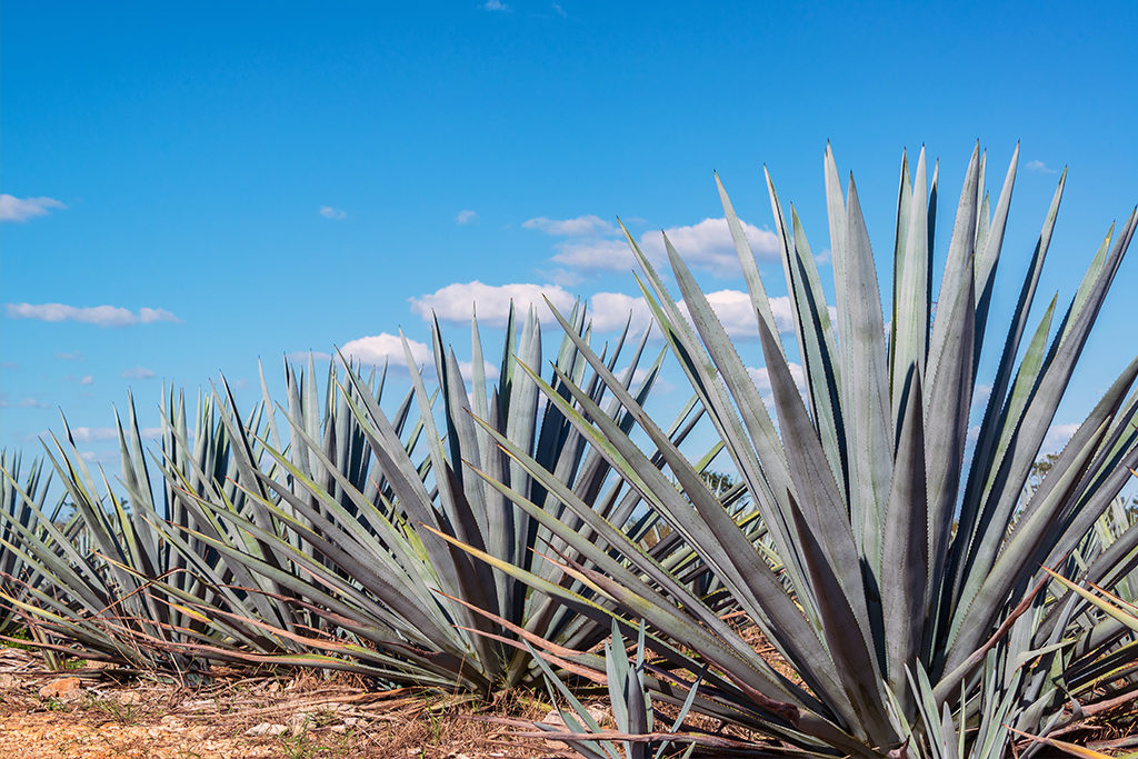 Tequila Mexiko Agave