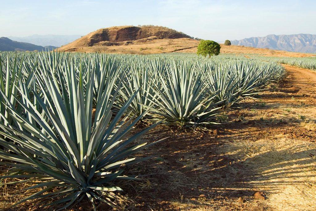Der Tequila entsteht aus der Blauen Weber Agave.