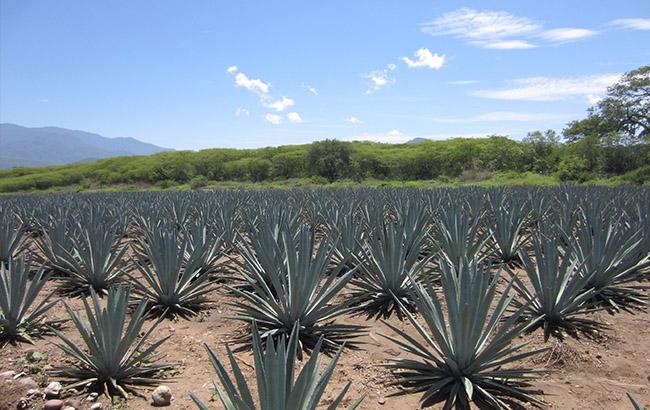 """Die Agavensorte """"Espadín"""" wird am häufigsten verwendet für Mezcal."""